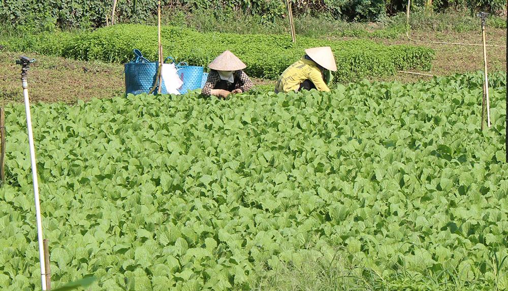 Tổ sản xuất rau an toàn theo tiêu chuẩn VietGAP ấp Mỹ An 2 (xã Mỹ Hòa Hưng) tạo ra sản phẩm chất lượng, nâng cao thu nhập