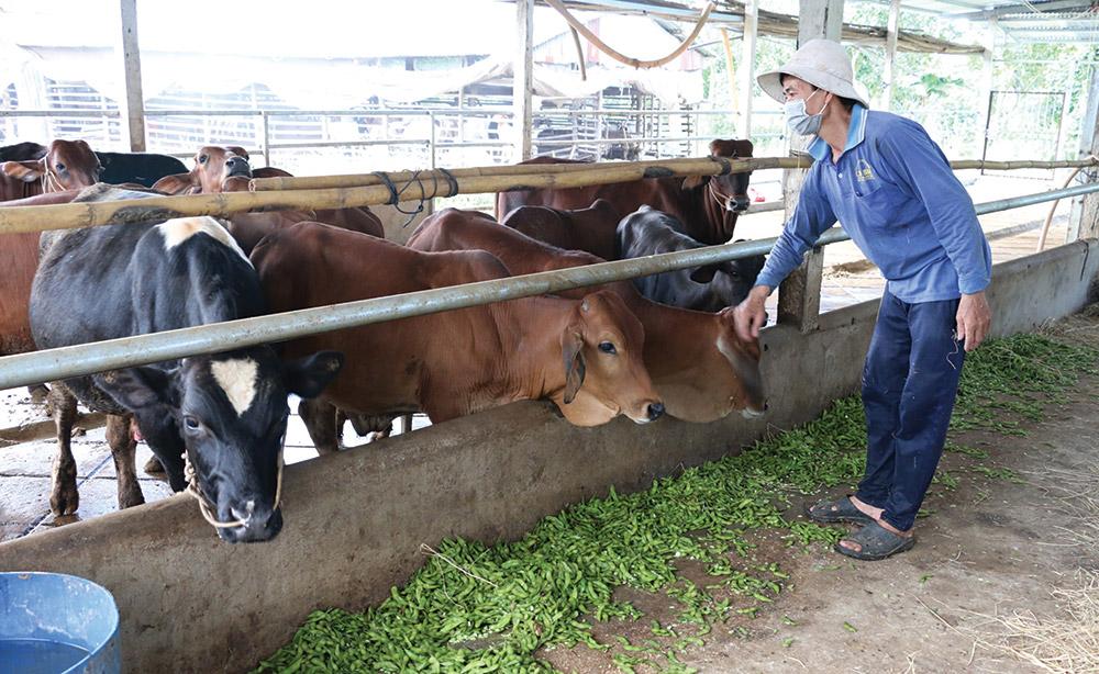 Mô hình tận dụng phụ phẩm nông nghiệp để nuôi dê, bò của gia đình ông Phó Văn Tới (Châu Thành)