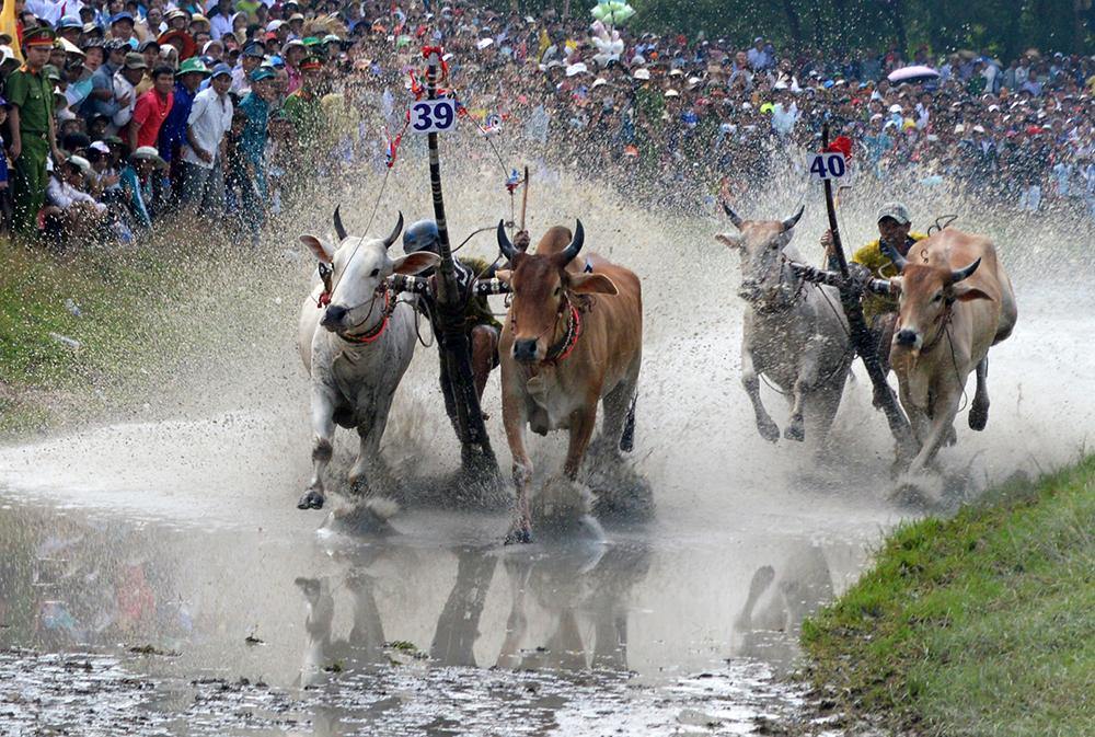 Hào hứng hội đua bò