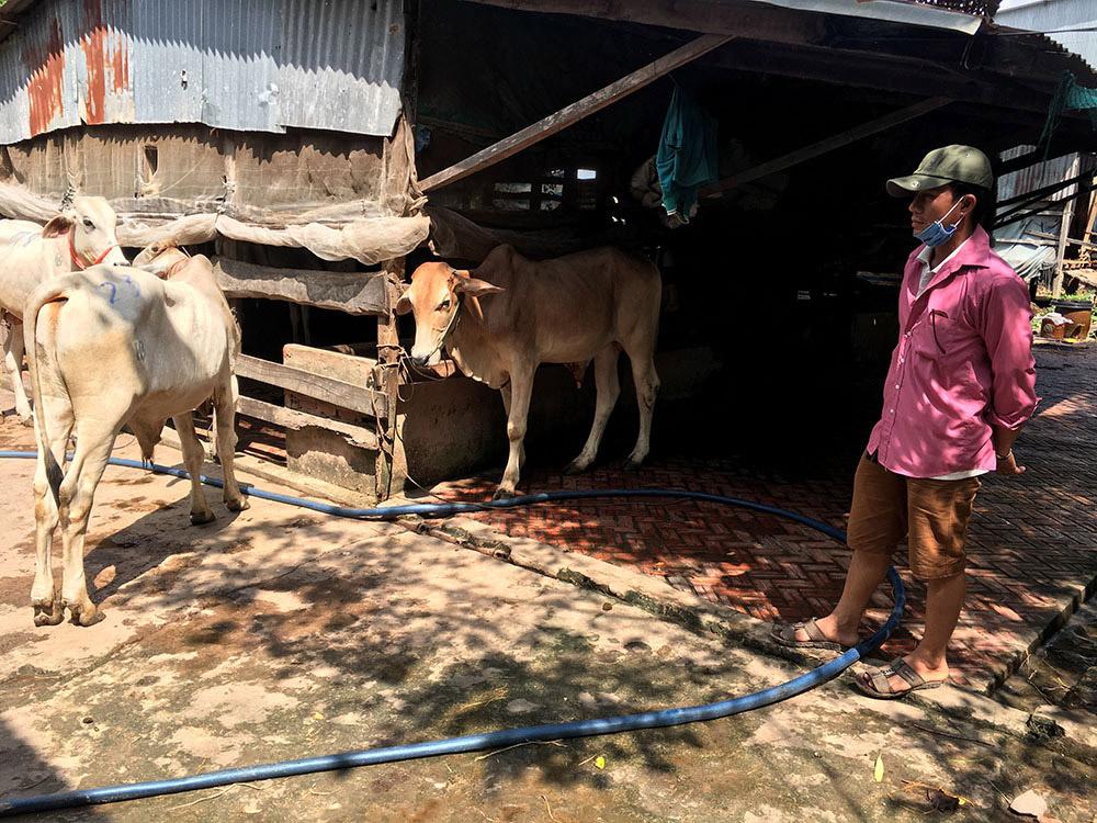 Con giống được nhập chủ yếu từ Campuchia nên giá cả thường biến động