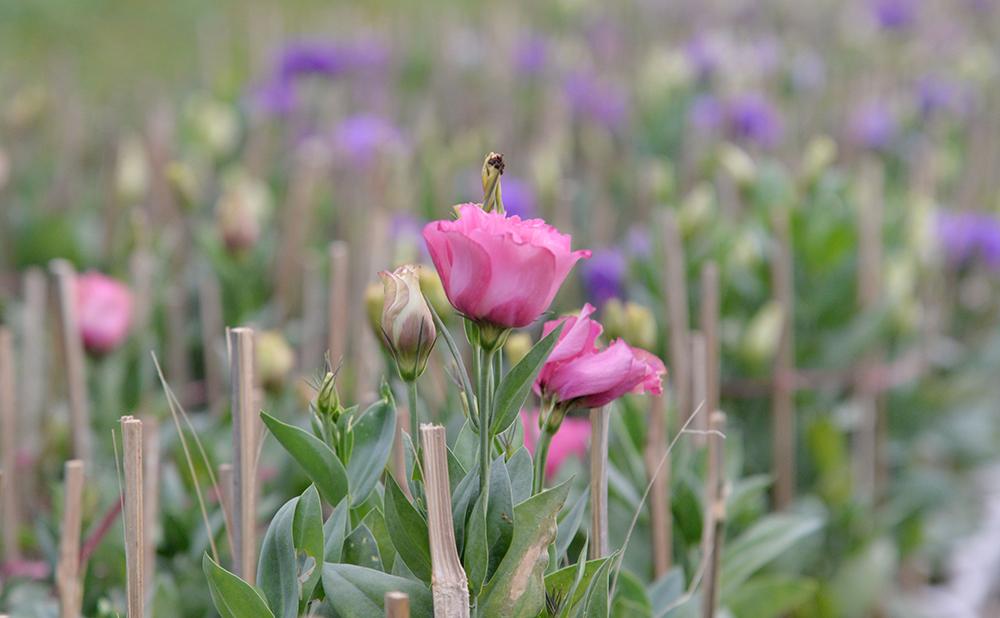 Làng hoa An Thạnh tất bật vào mùa Tết