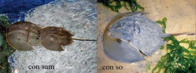 Ngộ độc, tử vong do ăn con so biển