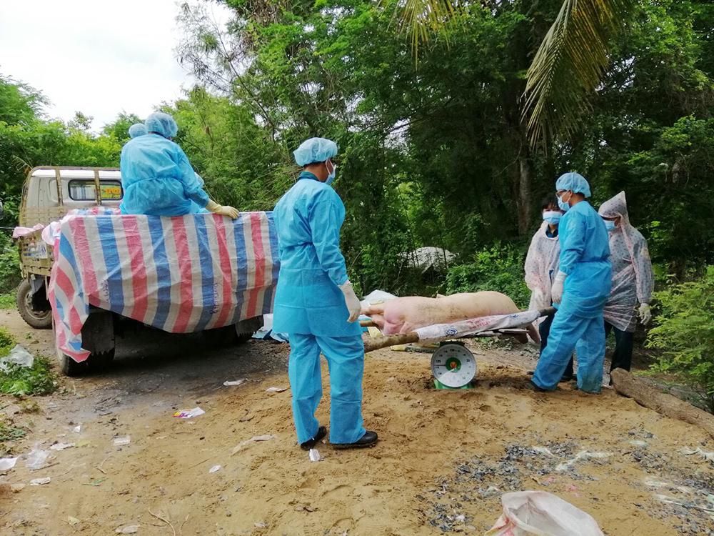 Hơn 4,347 tỷ đồng hỗ trợ hộ chăn nuôi bị tiêu hủy, do nhiễm dịch tả heo Châu Phi