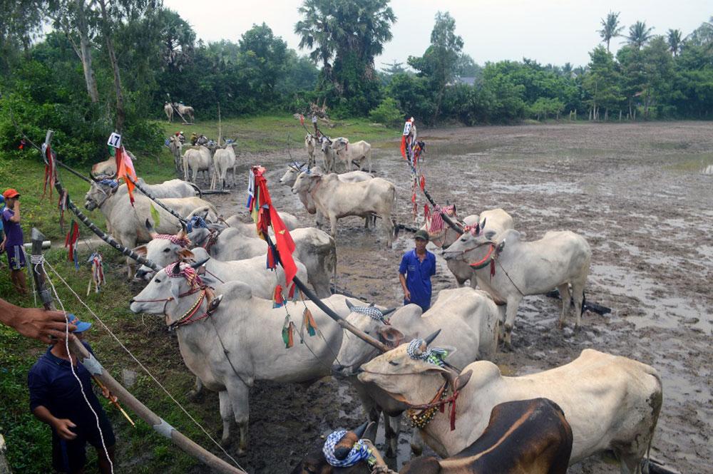 24 đôi bò mạnh của huyện Tịnh Biên tham dự ngày hội