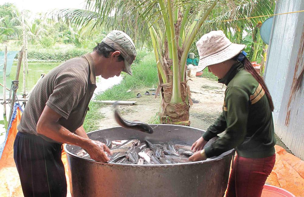 Thu hoạch cá lóc trong lũ