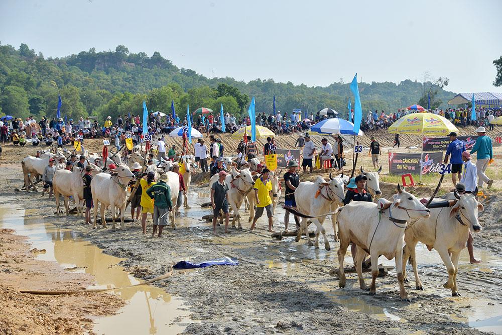 Các đôi bò diễu hành vòng sân trước khi tranh tài