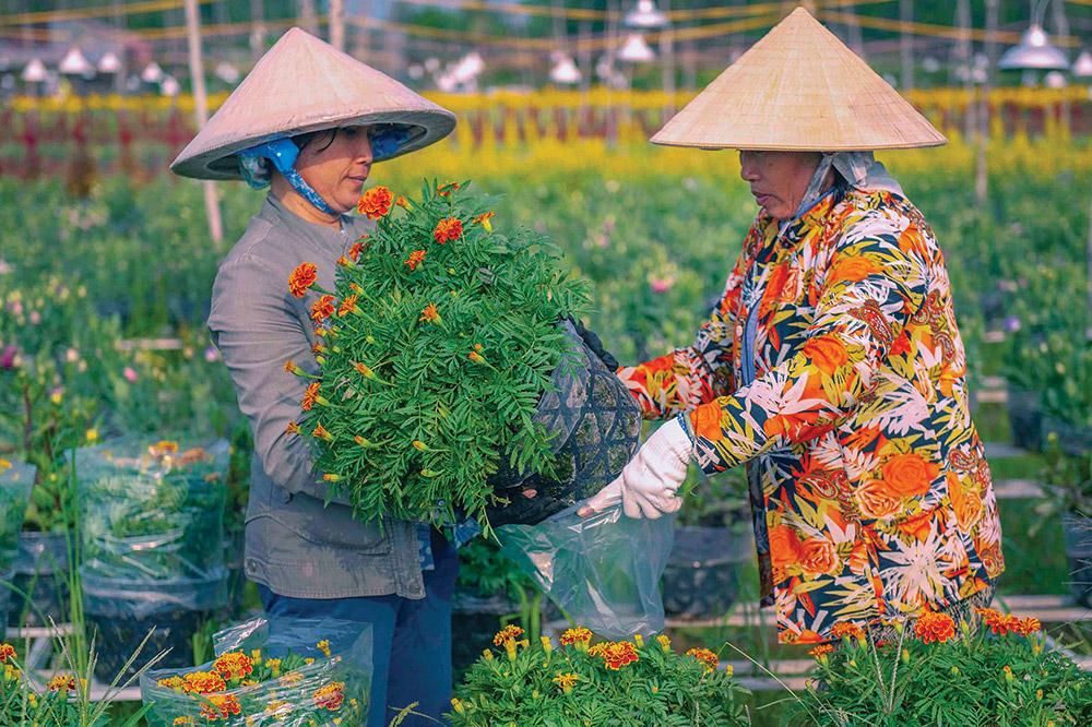 Những chậu hoa Tết sắp được đưa đi tiêu thụ tại các chợ trong, ngoài tỉnh