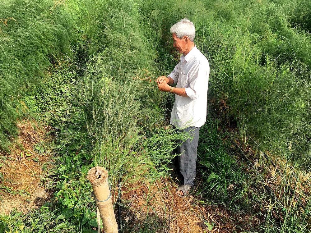 Trồng măng tây xanh ở Long Xuyên