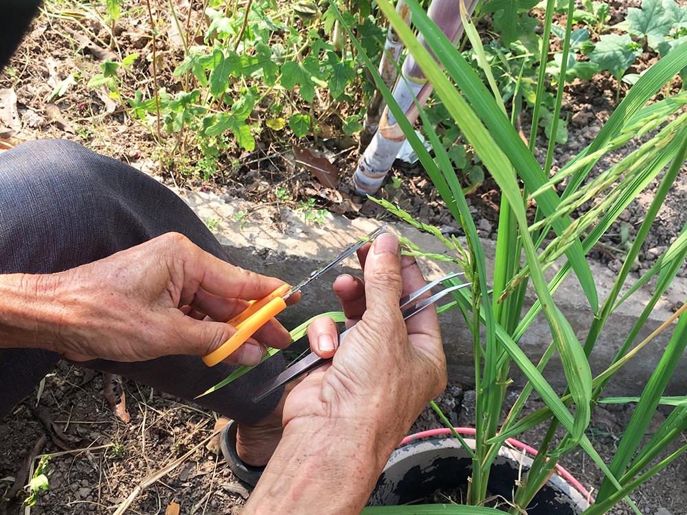 """""""Lão Hiền"""" - người giữ màu xanh cho lúa - Kỳ 2: Làm khoa học theo cách nông dân"""