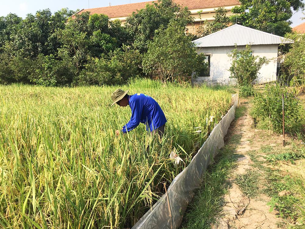 """""""Lão Hiền"""" - người giữ màu xanh cho lúa - Kỳ 3: """"Viện lúa nghèo nhất thế giới"""""""