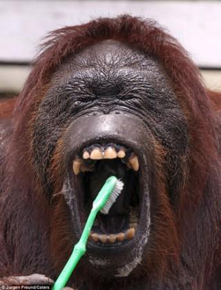 Chú đười ươi biết tự đánh răng như người