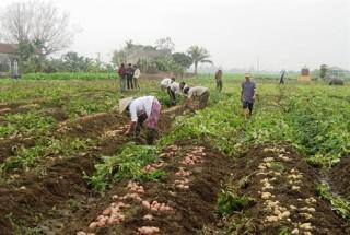 Sản xuất khoai tây giống sạch bệnh