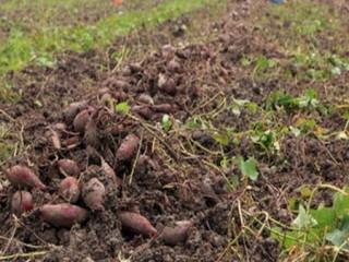 Hiệu quả bón phân Văn Điển cho cây khoai lang