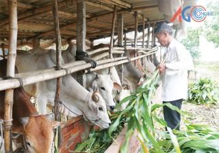 Chợ Mới phát triển đàn bò theo hướng trang trại