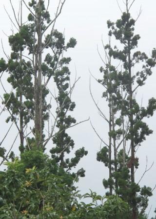 Độc nhất thế giới: 'Vương quốc' cây vô sinh ở Tây Nguyên