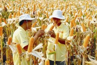 Cho trồng bắp biến đổi gen: ngành chăn nuôi được gì?