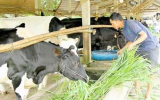 Nâng cao chất lượng bò sữa nông hộ
