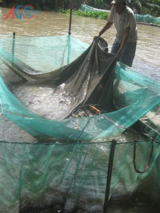 Thu tiền triệu nhờ nuôi cá lóc trong vèo