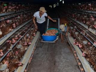 Doanh nghiệp thua thiệt vì hàng rào bảo vệ kém: Ngành chăn nuôi lao đao