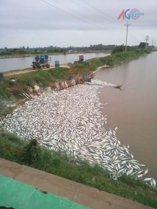 Người nuôi cá lao đao vì thời tiết