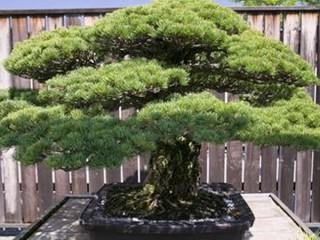 Cây bonsai 390 năm tuổi vượt qua vụ tấn công bom nguyên tử