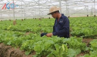 Nông dân xứ cồn sản xuất rau màu an toàn