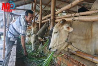 Phú Tân phát triển đàn bò lai theo hướng công nghệ cao
