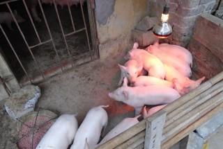Kỹ thuật chăm sóc lợn con sau sinh