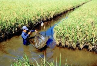 Sản xuất tôm - lúa: 50 năm vẫn... thiếu đủ thứ