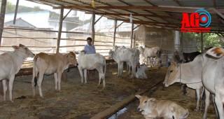 Liên kết nuôi bò theo kiểu mới
