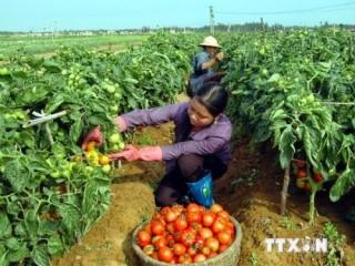 Thủ phủ cà chua Đơn Dương điêu đứng vì dịch bệnh