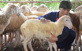 Bỏ phố về quê nuôi cừu, thu trăm triệu mỗi năm