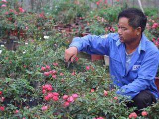 Hoa hồng bonsai đua sắc, mang lại lợi nhuận cao