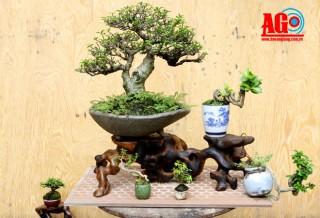 Thú chơi bonsai siêu mini