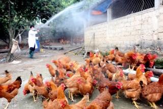 Thêm hai tỉnh xuất hiện dịch cúm gia cầm