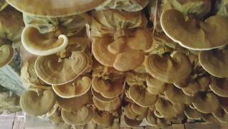 Sản xuất nấm linh chi ứng dụng công nghệ cao