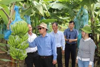 Triển vọng trồng chuối công nghệ cao