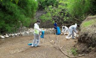 Xuất hiện ổ dịch cúm H5N1 thứ 3 tại Đăk Lăk