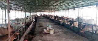 Nâng cao chất lượng đàn bò thịt