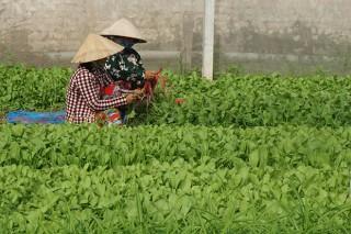 Phú Tân nhân rộng nhà lưới trồng rau an toàn