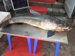 """Bắt được cá trắm """"khủng"""", dài gần 1,5m trên hồ Thác Bà"""