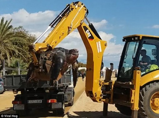 TBN: Rùa khổng lồ nặng 500kg, phải dùng máy xúc để nhấc lên
