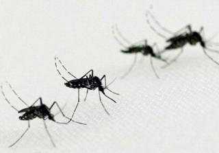 Bộ Y tế thí điểm thả muỗi mang vi khuẩn Wolbachia tại Nha Trang