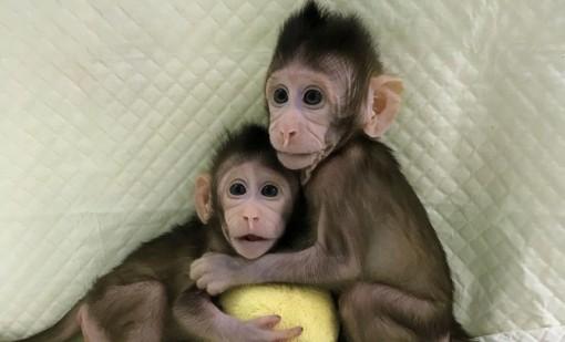 Trung Quốc đã thực hiện nhân bản vô tính thành công trên loài khỉ