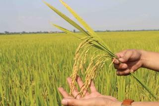 Thay đổi tập quán canh tác, ngành lúa gạo khởi sắc
