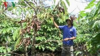 """Người trồng cà phê ở Gia Lai """"khóc ròng"""" vì mưa"""