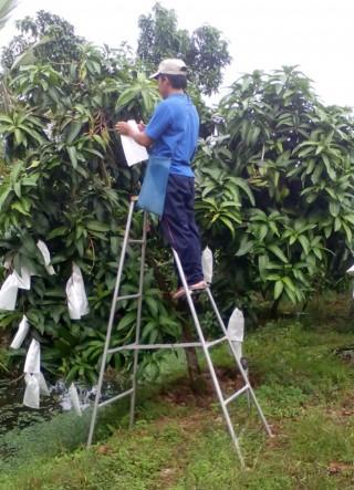 Hỗ trợ nông dân cù lao Giêng ứng dụng tiến bộ khoa học - kỹ thuật trồng xoài 3 màu