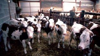 Anh phát hiện ca bò điên đầu tiên sau 10 năm