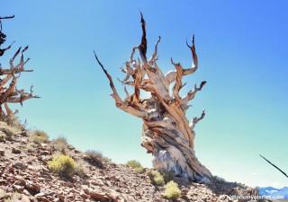 Nảy mầm từ trước thời Kim tự tháp, cây cổ thụ 5.000 năm tuổi vẫn sống khỏe
