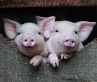 Lợn thông minh hơn chúng ta tưởng